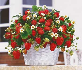 клубника-роза