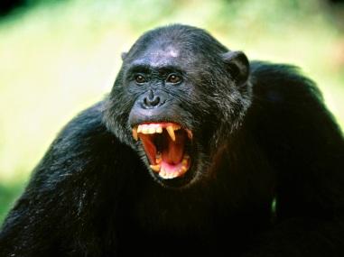 warring-chimpanzees.jpg
