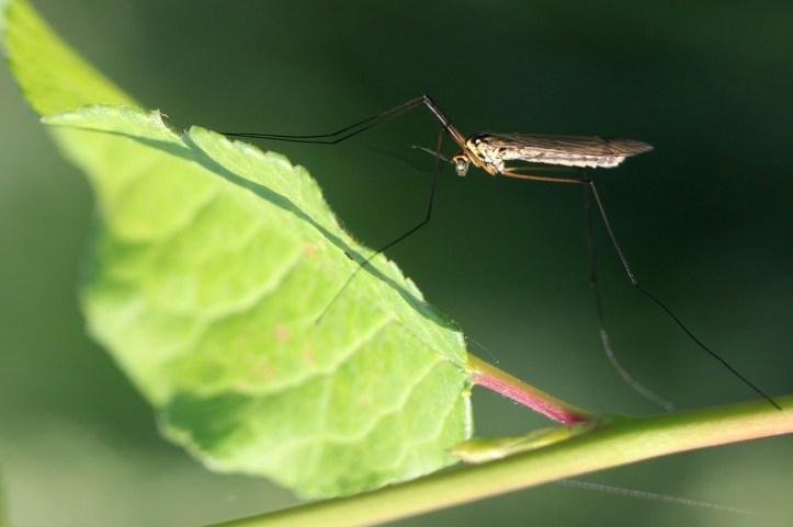 комарик
