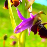 Xarı bülbül - Qarabağ florasının tükənməkdə olan nadir nümunəsi - VİDEO