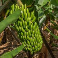 Человечество может остаться без бананов